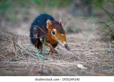 Black and rufous elephant shrew -Rhynchocyon petersi or sengi or Zanj elephant shrew, found only in Africa, native to the lowland montane and dense forests of Kenya and Tanzania.