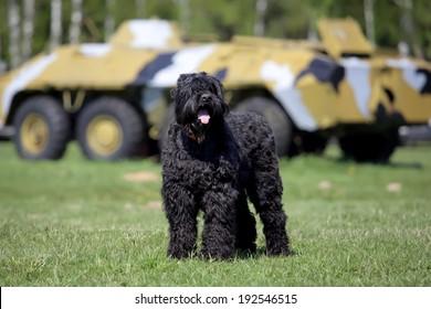 Black Russian Terrier (BRT or Stalin's dog), and war machine BTR