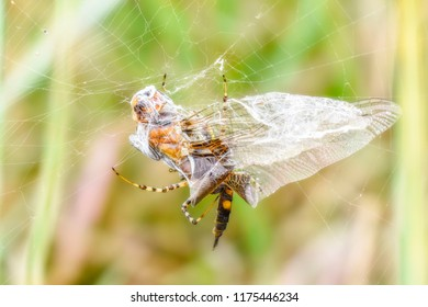 Black Saddlebags Dragonfly (Tramea lacerata) Caught in the Web of a Marsh Spider on the Eastern Plains of Colorado