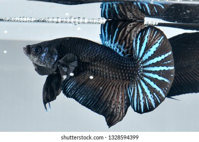 black samurai plakat betta fish