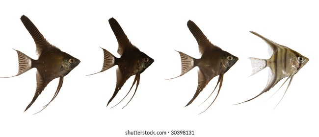 Black scalar fish are swimming after white scarlar fish. 2000 x 5000 pixls