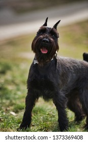Black Schnauzer dog paly in park
