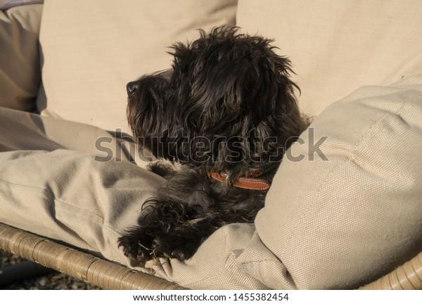 Black Schnoodle Dog Miniature Poodle Miniature Stock Photo