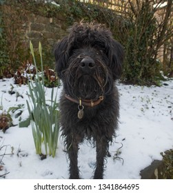 Black Schnoodle Dog (Miniature Schnauzer and Poodle Cross) in the Snow in a Garden in Rural Devon, England, UK
