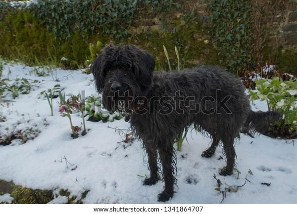 Black Schnoodle Dog Miniature Schnauzer Poodle Stock Photo
