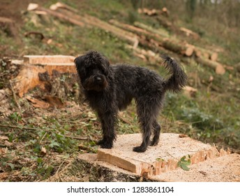 Black Schnoodle (Minature Schnauzer and Minature Poodle Cross) Dog Standing on a Recently Felled Douglas Fir Tree Stump in Eggesford Forest in Rural Devon, England, UK