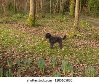 Black Schnoodle (Minature Schnauzer and Minature Poodle Cross) Dog Standing in a Winter Woodland Garden in Rural Devon, England, UK