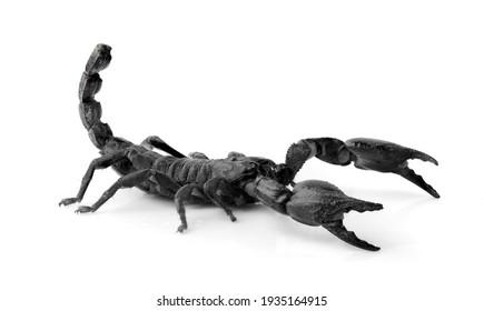 Black scorpion isolated on white background