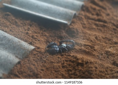 black scorpion on the sand