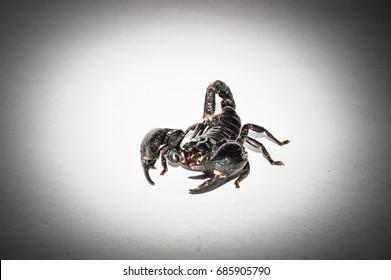Black Scorpion on the white background