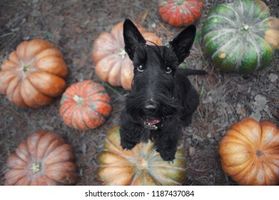 Black scotch terrier dog standing on a pumpkins. View from above
