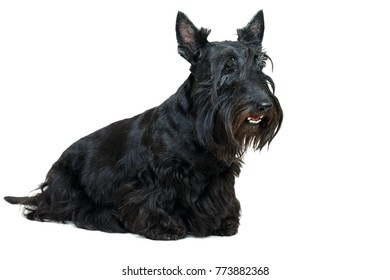 Black Scottish Terrier dog