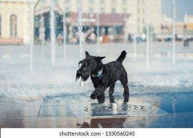 black scottish terrier dog runs through the splash of the city fountain.