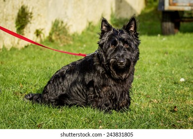 Black Scottish terrier with grass background