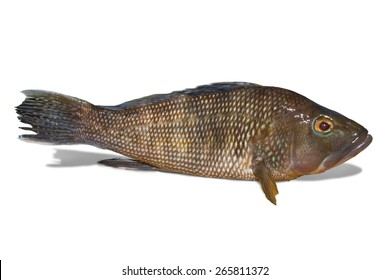Black sea bass on white background with clipping path