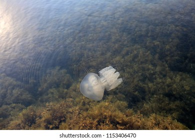 Black Sea jellyfish swims in the water near the shore