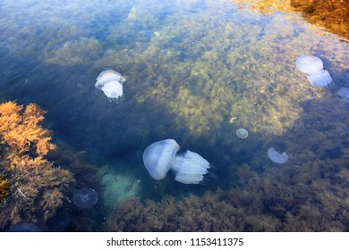 Black Sea jellyfish swims in the water at the shore