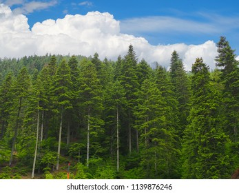 Black Sea turkey and green pine trees forest landscape with blue cloudy sky