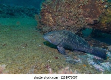 Black seabass resting on a shipwreck off Beaufort, North Carolina.