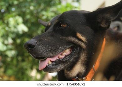 Black senior dog huffing and puffing on a hot day tropical heat closeup