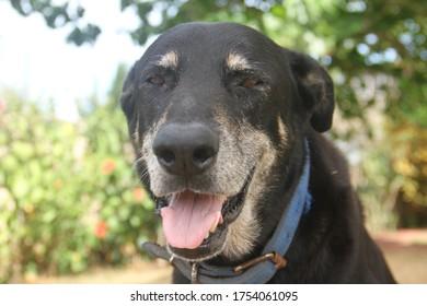 Black senior dog on a hot day in tropics portrait closeup