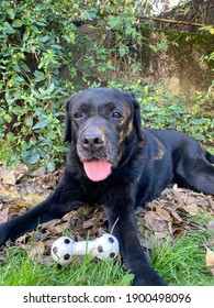 Black senior Labrador dog lays on the grass and mud with a toy and open mouth