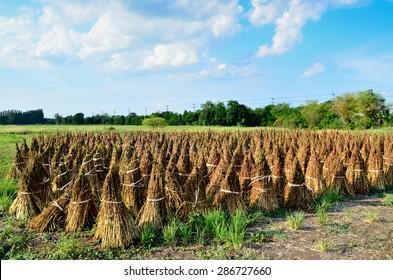 Black sesame in farm