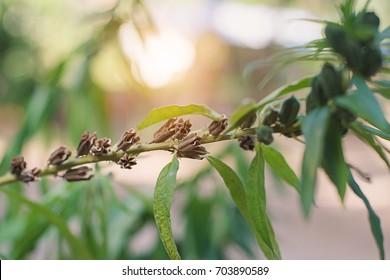 Black Sesame Plant In Nature.The complete growth of the sesame plant.This plant can be processed into a healthy food.Plants with inhibitors of cancer