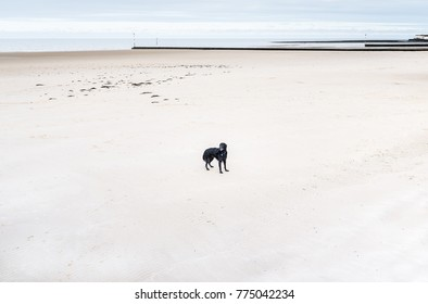 black shaggy dog standing on a beach at low tide on white sand in winter in Kent. Minnis bay beach, uk.