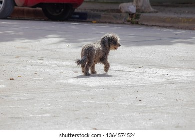 Black shaggy poodle mongrel dog, on the street, lost,