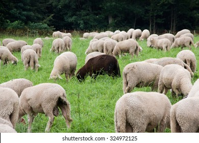 A black sheep among the white ones (An association with the proverb: a black sheep in flock)