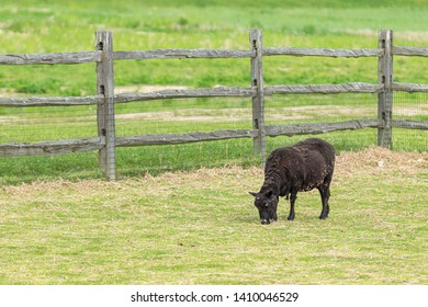 A black sheep eating grass by a wooden fence