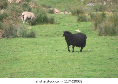 A black sheep frolicking in a field.
