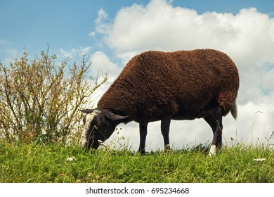 Black sheep grazing on a dike