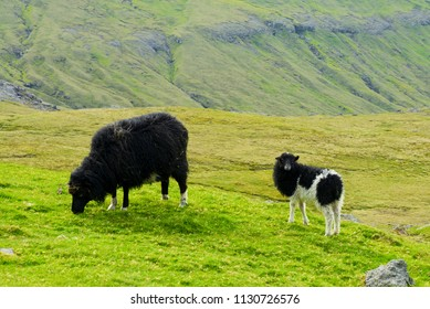 Black sheep and lamb looking to camera, Faroe Islands