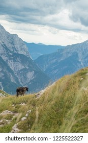 Black sheep in mountains