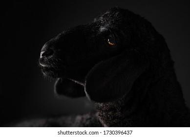 black sheep portrait in studio