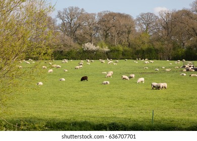 Black sheep stands out isolated amongst the flock