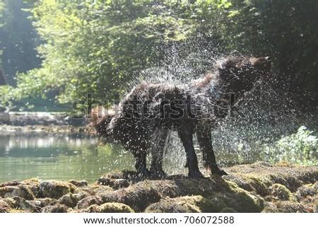 black-sheepdog-on-dry-waterfall-450w-706