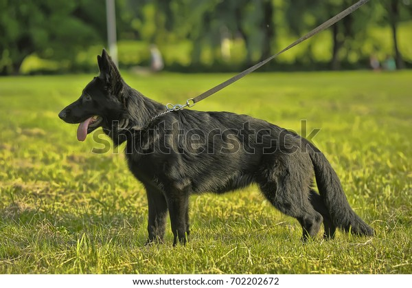 Black Shepherd puppy on the green grass