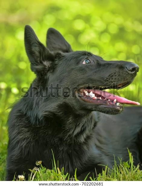 Black Shepherd puppy on the green grass