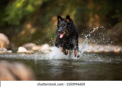 Black shepherd running in water. Dog in action. Wet black dog.