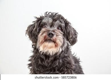Black Shisu dog on withe background