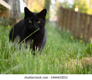 Black short haired house cat enjoying the outdoors in the day time in summer