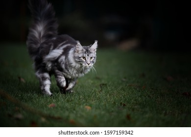 black silver classic tabby maine coon cat outdoors running on grass hunting at dawn