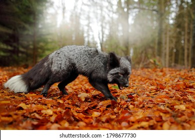 Black silver fox, rare form, wide angle with habitat. Dark red fox playing in autumn forest. Wildlife scene from wild nature. Funny image from Russia. Cute mammal with black and white tail.