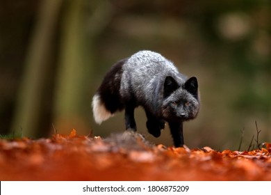 Black silver fox, rare form. Dark red fox playing in autumn forest. Animal jump in fall wood. Wildlife scene from wild nature. Funny image from Russia. Cute mammal with black and white tail.