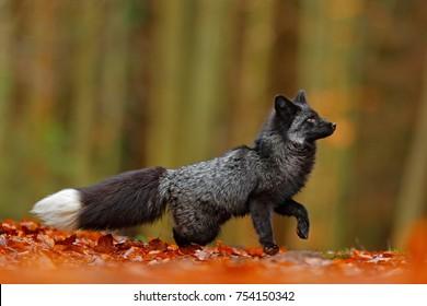 Imágenes Fotos De Stock Y Vectores Sobre Fur Silver Fox