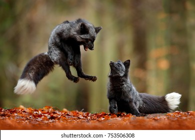 Black silver foxes playing in autumn forest. Animal jump in fall wood. Wildlife scene from nature. Pair of mammals in fight.