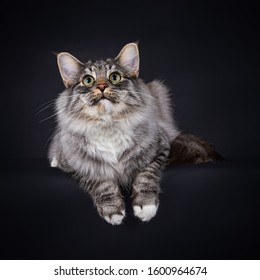 Black Silver Spotted Tabby with white Norwegian Forest cat. Lying down and looking up, with his paws hanging over the edge, isolated on a black background